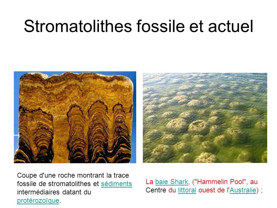 Stromatolithes fossile et actuel La baie Shark, ( Hammelin Pool , au Centre du littoral ouest de l Australie) ;baie SharklittoralAustralie Coupe d une roche montrant la trace fossile de stromatolithes et sédiments intermédiaires datant du protérozoïque.sédiments protérozoïque