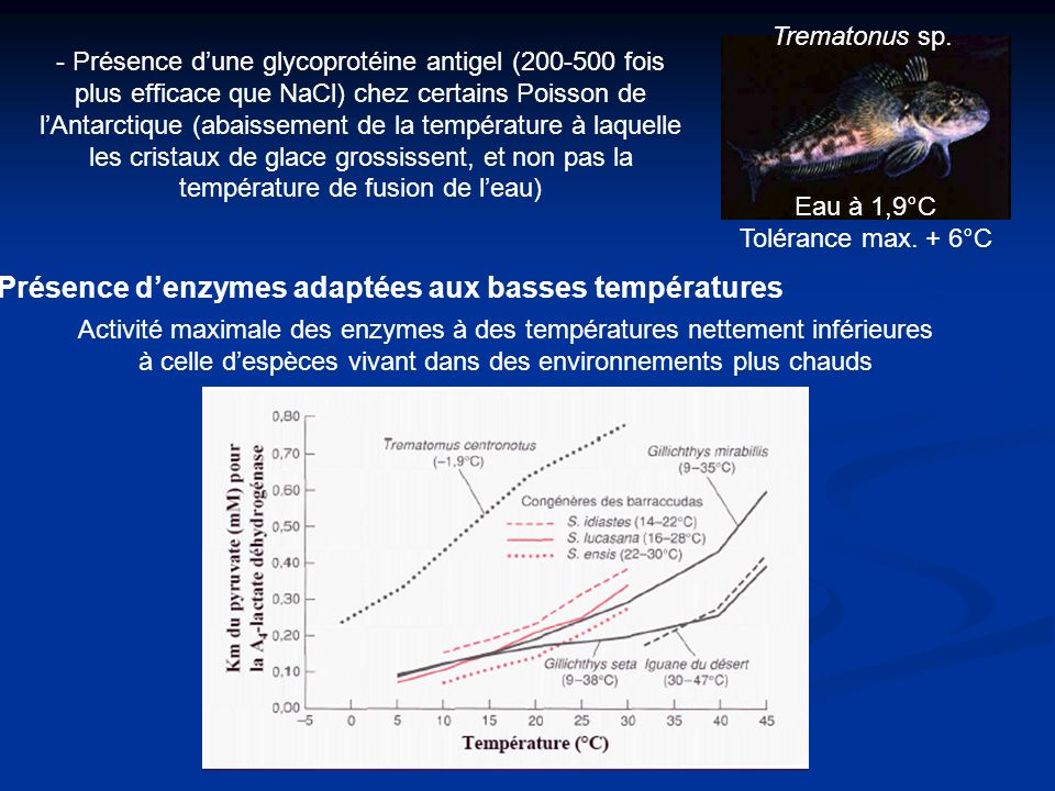 - Présence dune glycoprotéine antigel (200-500 fois plus efficace que NaCl) chez certains Poisson de lAntarctique (abaissement de la température à laquelle les cristaux de glace grossissent, et non pas la température de fusion de leau) Activité maximale des enzymes à des températures nettement inférieures à celle despèces vivant dans des environnements plus chauds Présence denzymes adaptées aux basses températures Trematonus sp.
