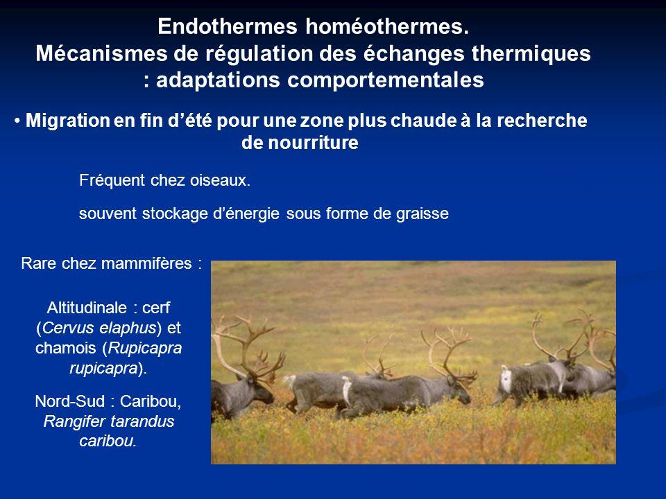 Endothermes homéothermes. Mécanismes de régulation des échanges thermiques : adaptations comportementales Migration en fin dété pour une zone plus cha