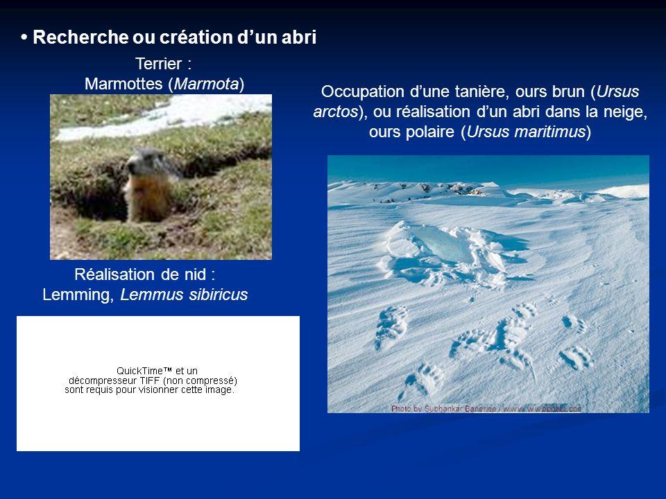 Recherche ou création dun abri Terrier : Marmottes (Marmota) Réalisation de nid : Lemming, Lemmus sibiricus Occupation dune tanière, ours brun (Ursus arctos), ou réalisation dun abri dans la neige, ours polaire (Ursus maritimus)