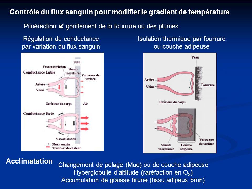Régulation de conductance par variation du flux sanguin Contrôle du flux sanguin pour modifier le gradient de température Piloérection gonflement de la fourrure ou des plumes.