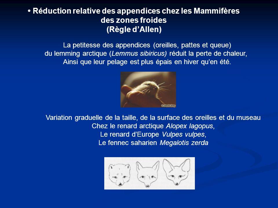 Réduction relative des appendices chez les Mammifères des zones froides (Règle dAllen) La petitesse des appendices (oreilles, pattes et queue) du lemm