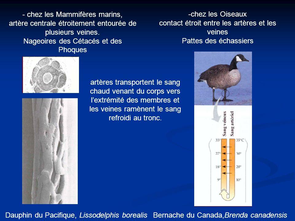- chez les Mammifères marins, artère centrale étroitement entourée de plusieurs veines. Nageoires des Cétacés et des Phoques -chez les Oiseaux contact