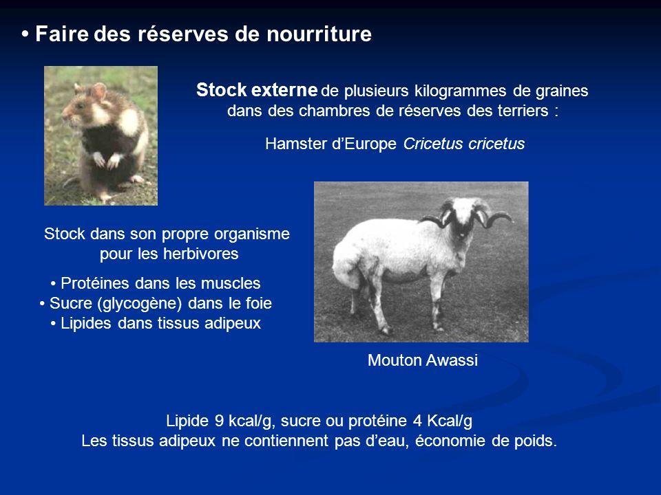Faire des réserves de nourriture Stock externe de plusieurs kilogrammes de graines dans des chambres de réserves des terriers : Hamster dEurope Cricet