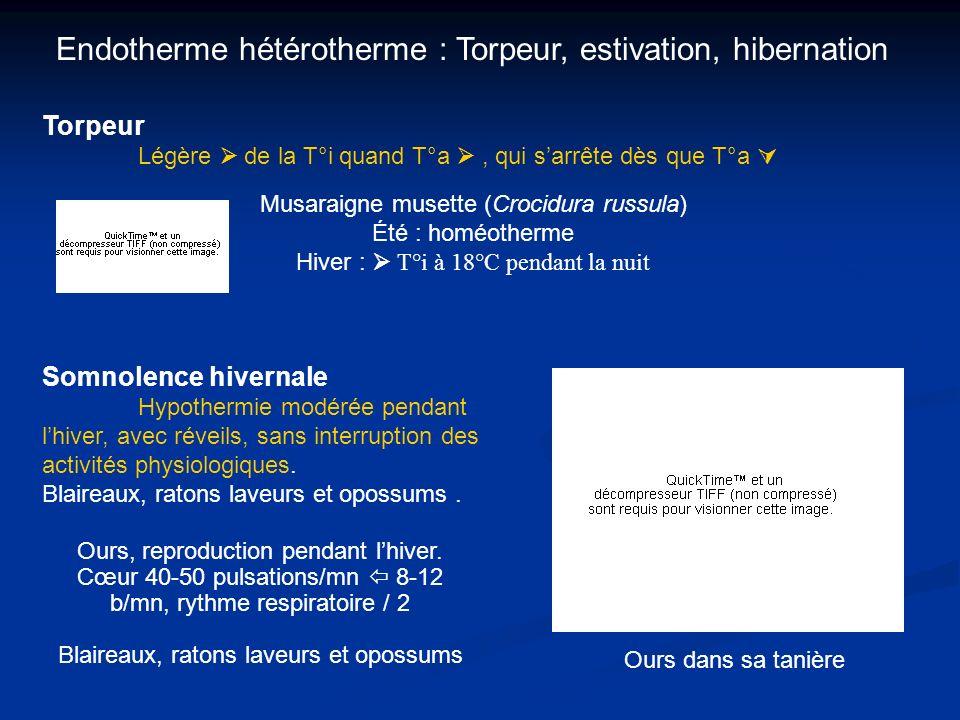 Endotherme hétérotherme : Torpeur, estivation, hibernation Torpeur Légère de la T°i quand T°a, qui sarrête dès que T°a Ours, reproduction pendant lhiv