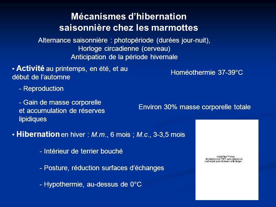 Mécanismes dhibernation saisonnière chez les marmottes Activité au printemps, en été, et au début de lautomne Homéothermie 37-39°C - Reproduction - Gain de masse corporelle et accumulation de réserves lipidiques Environ 30% masse corporelle totale Alternance saisonnière : photopériode (durées jour-nuit), Horloge circadienne (cerveau) Anticipation de la période hivernale Hibernation en hiver : M.m., 6 mois ; M.c., 3-3,5 mois - Intérieur de terrier bouché - Posture, réduction surfaces déchanges - Hypothermie, au-dessus de 0°C