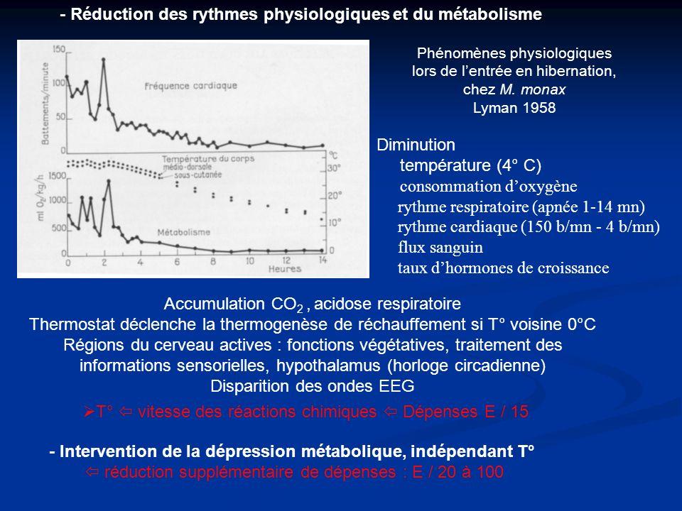 - Réduction des rythmes physiologiques et du métabolisme T° vitesse des réactions chimiques Dépenses E / 15 - Intervention de la dépression métabolique, indépendant T° réduction supplémentaire de dépenses : E / 20 à 100 Phénomènes physiologiques lors de lentrée en hibernation, chez M.