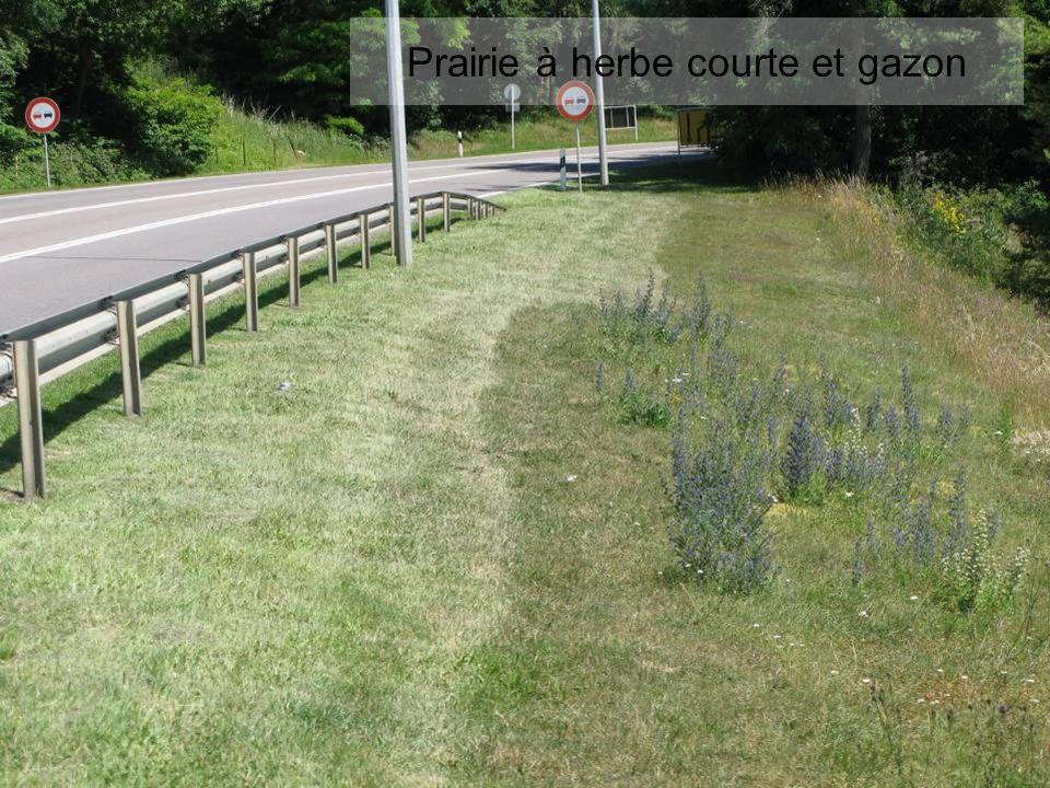 Prairie à herbe courte et gazon
