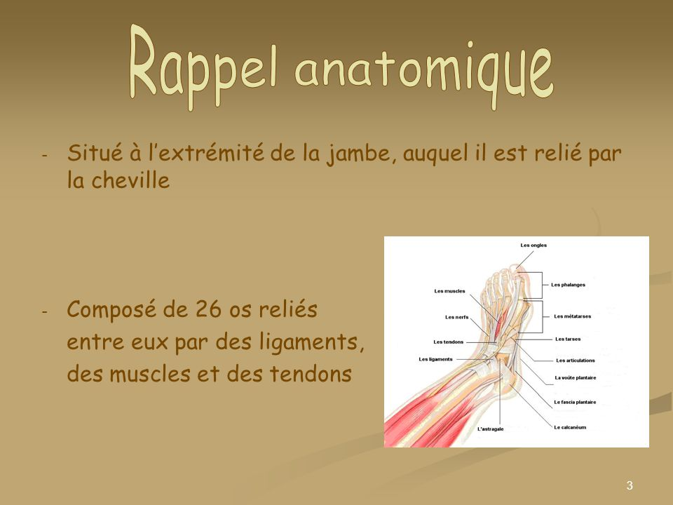 3 - - Situé à lextrémité de la jambe, auquel il est relié par la cheville - - Composé de 26 os reliés entre eux par des ligaments, des muscles et des
