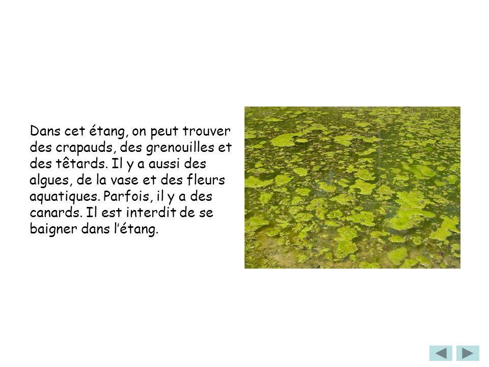 Dans cet étang, on peut trouver des crapauds, des grenouilles et des têtards. Il y a aussi des algues, de la vase et des fleurs aquatiques. Parfois, i