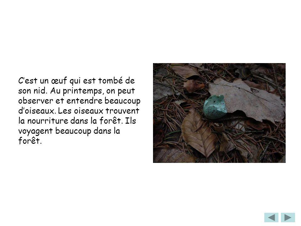 Cest un œuf qui est tombé de son nid. Au printemps, on peut observer et entendre beaucoup doiseaux. Les oiseaux trouvent la nourriture dans la forêt.