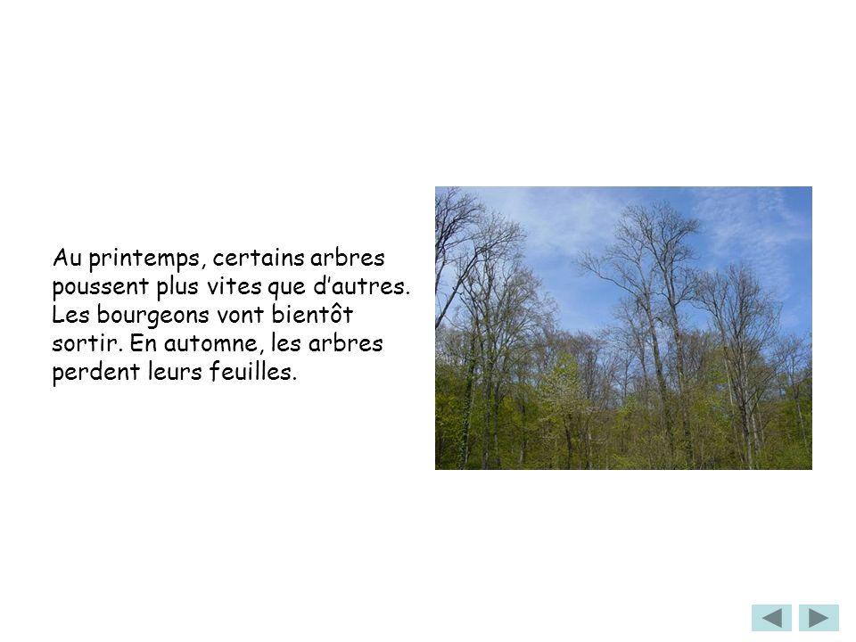 Au printemps, certains arbres poussent plus vites que dautres. Les bourgeons vont bientôt sortir. En automne, les arbres perdent leurs feuilles.