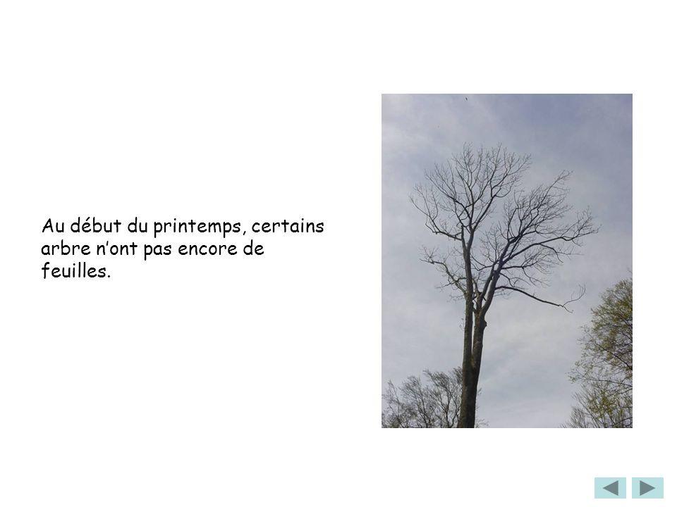 Au début du printemps, certains arbre nont pas encore de feuilles.
