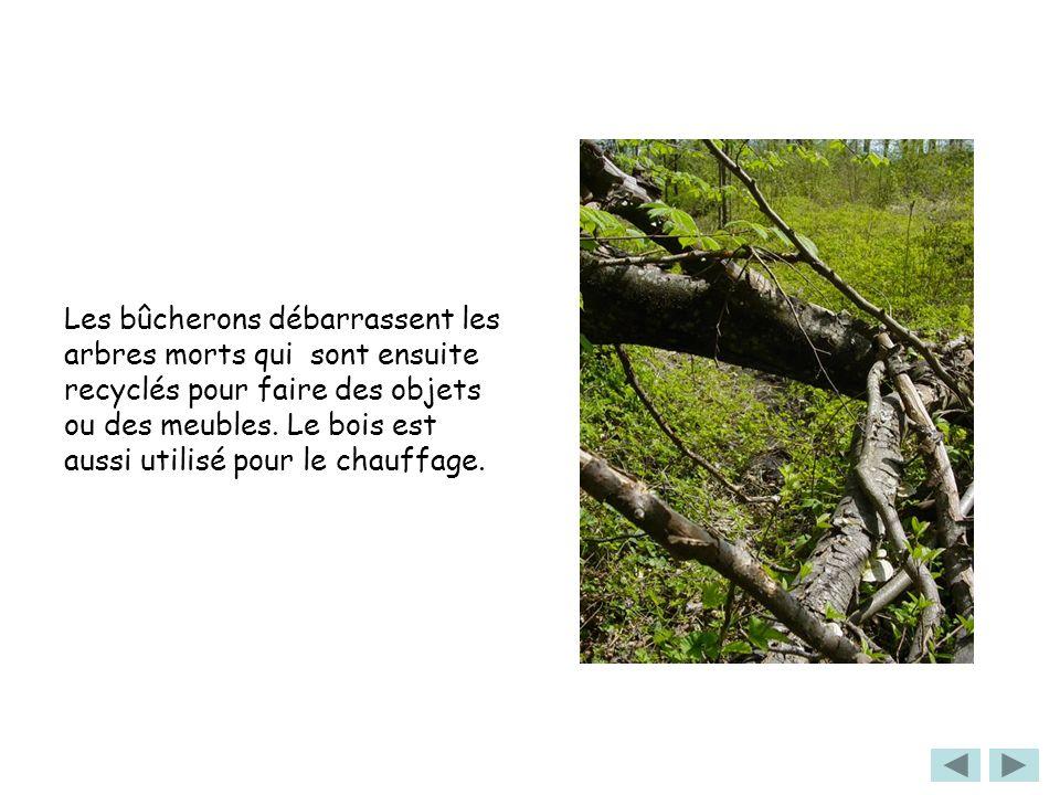 Les bûcherons débarrassent les arbres morts qui sont ensuite recyclés pour faire des objets ou des meubles. Le bois est aussi utilisé pour le chauffag