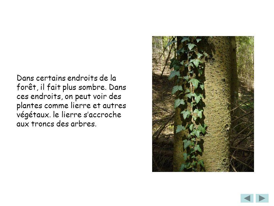 Dans certains endroits de la forêt, il fait plus sombre. Dans ces endroits, on peut voir des plantes comme lierre et autres végétaux. le lierre saccro