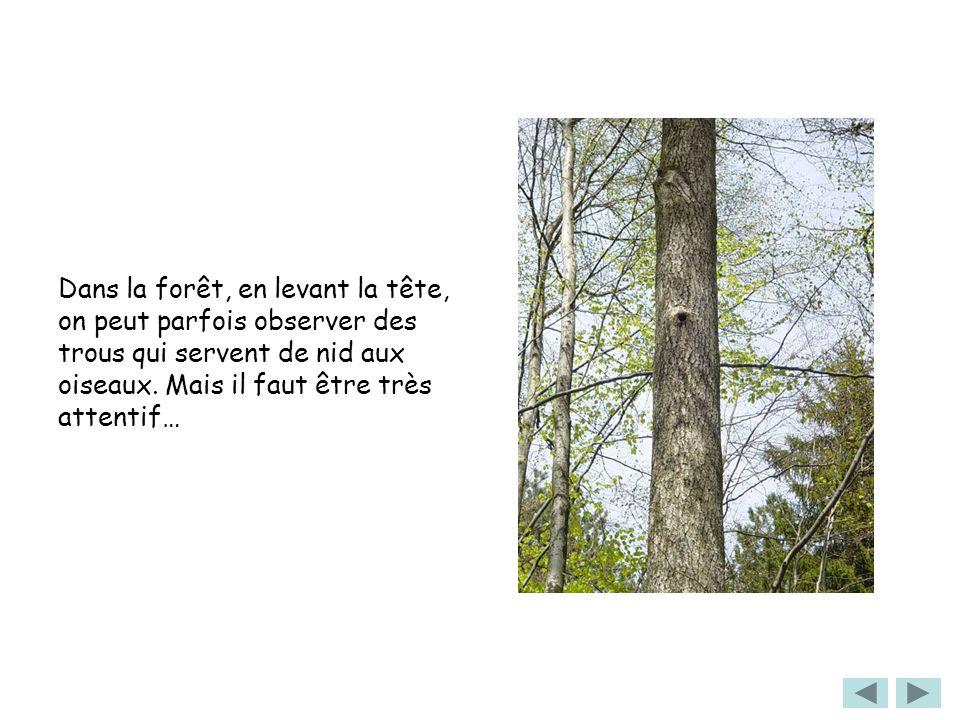Dans la forêt, en levant la tête, on peut parfois observer des trous qui servent de nid aux oiseaux. Mais il faut être très attentif…