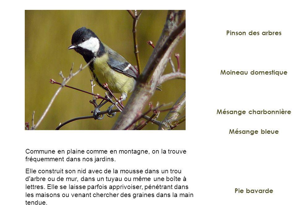 Moineau domestique Mésange charbonnière Pie bavarde Pinson des arbres Mésange bleue Commune en plaine comme en montagne, on la trouve fréquemment dans