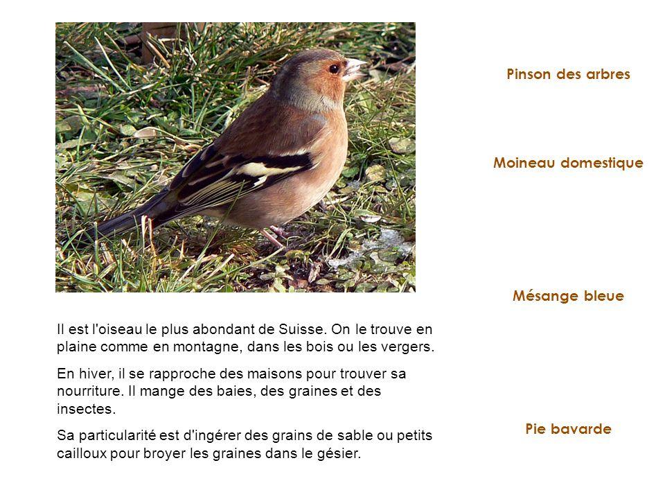Moineau domestique Pie bavarde Pinson des arbres Mésange bleue Il est l'oiseau le plus abondant de Suisse. On le trouve en plaine comme en montagne, d