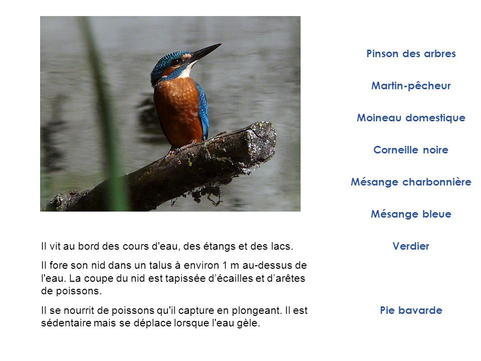 Martin-pêcheur Moineau domestique Mésange charbonnière Corneille noire Verdier Pie bavarde Pinson des arbres Mésange bleue Il vit au bord des cours d'