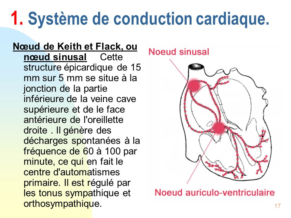 17 1. Système de conduction cardiaque. Nœud de Keith et Flack, ou nœud sinusal Cette structure épicardique de 15 mm sur 5 mm se situe à la jonction de