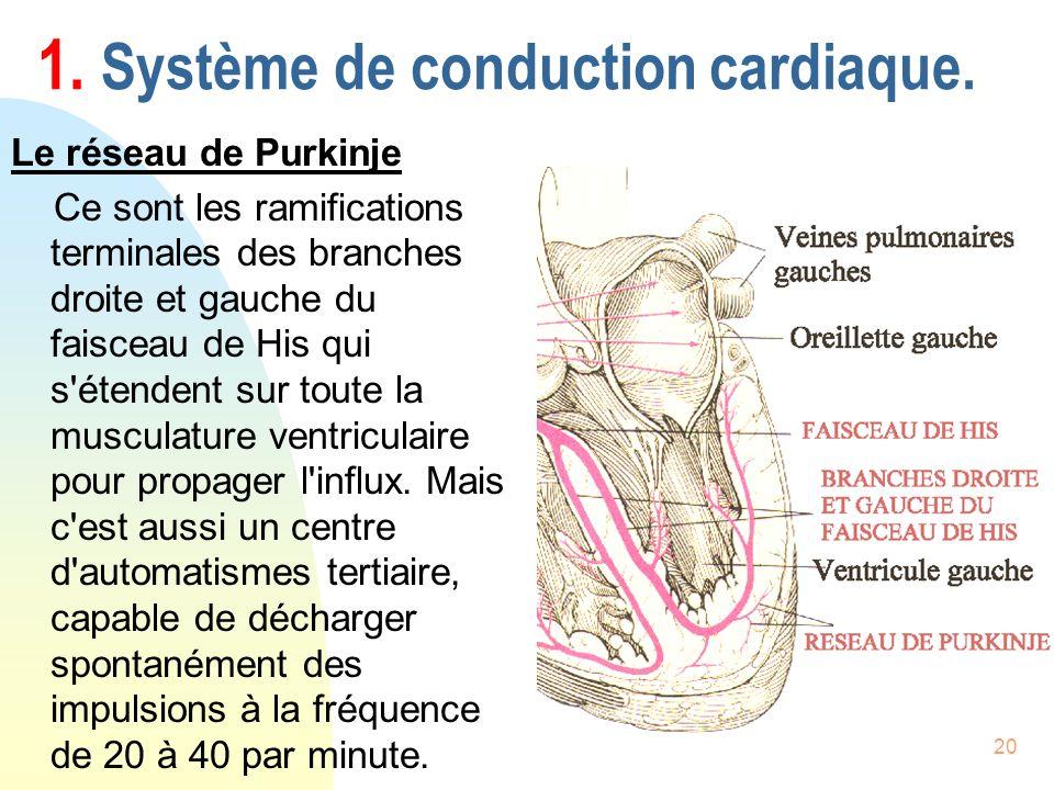 20 1. Système de conduction cardiaque. Le réseau de Purkinje Ce sont les ramifications terminales des branches droite et gauche du faisceau de His qui