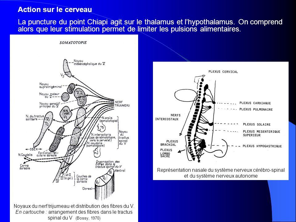 Action sur le cerveau La puncture du point Chiapi agit sur le thalamus et lhypothalamus.