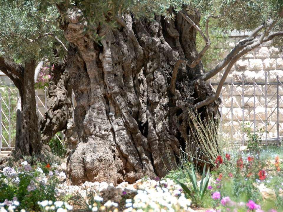Un olivier avec ses souquets (rejets), peut-être bi-millénaire.