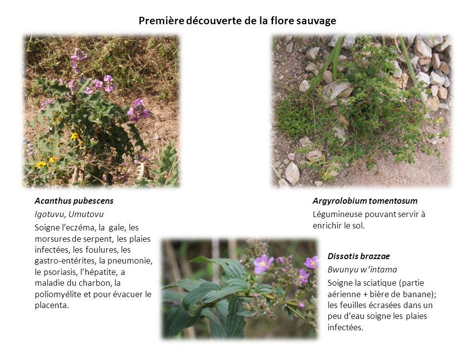 Première découverte de la flore sauvage Acanthus pubescens Igotuvu, Umutovu Soigne leczéma, la gale, les morsures de serpent, les plaies infectées, le