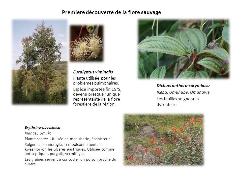 Première découverte de la flore sauvage Eucalyptus viminalis Plante utilisée pour les problèmes pulmonaires. Espèce importée fin 19°S, devenu presque