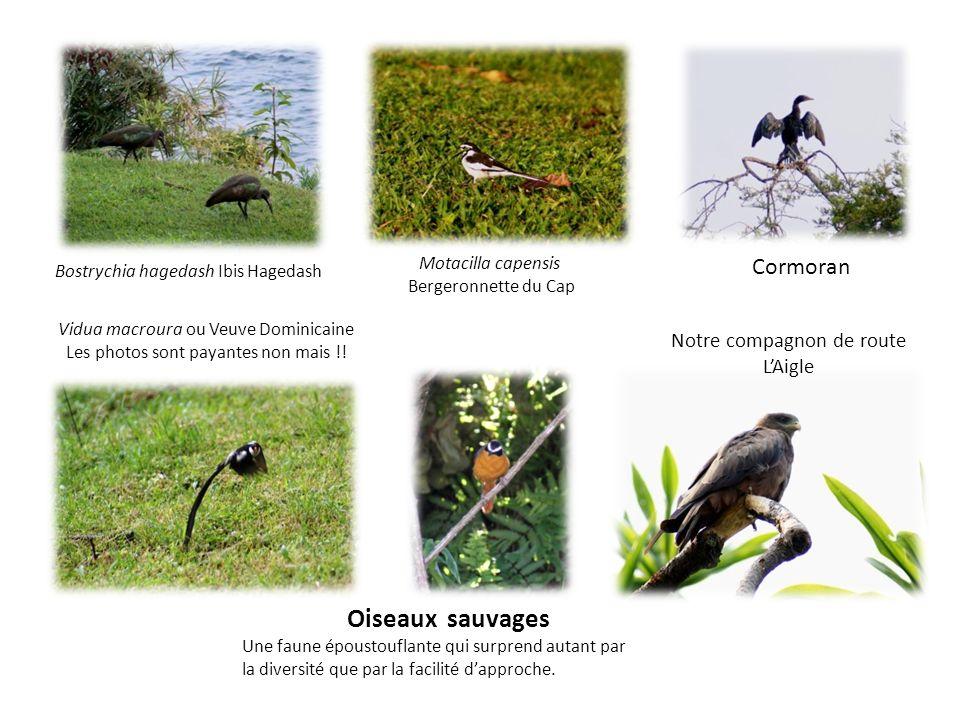 Oiseaux sauvages Une faune époustouflante qui surprend autant par la diversité que par la facilité dapproche. Bostrychia hagedash Ibis Hagedash Cormor