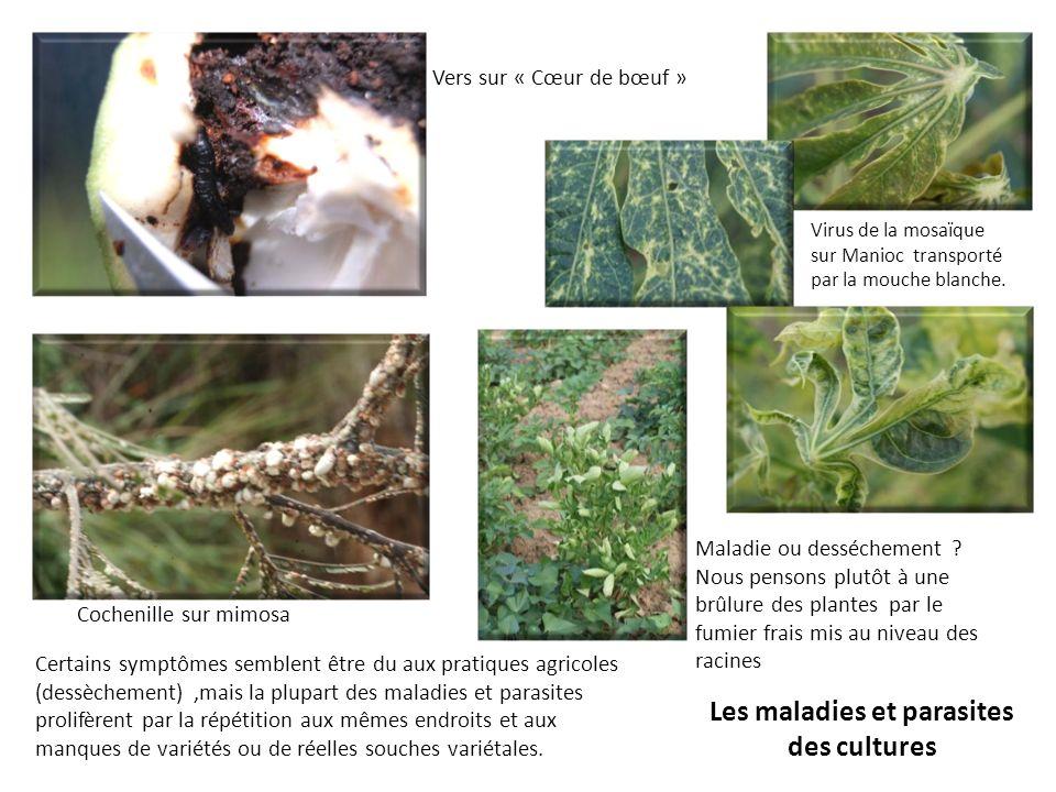 Les maladies et parasites des cultures Certains symptômes semblent être du aux pratiques agricoles (dessèchement),mais la plupart des maladies et para