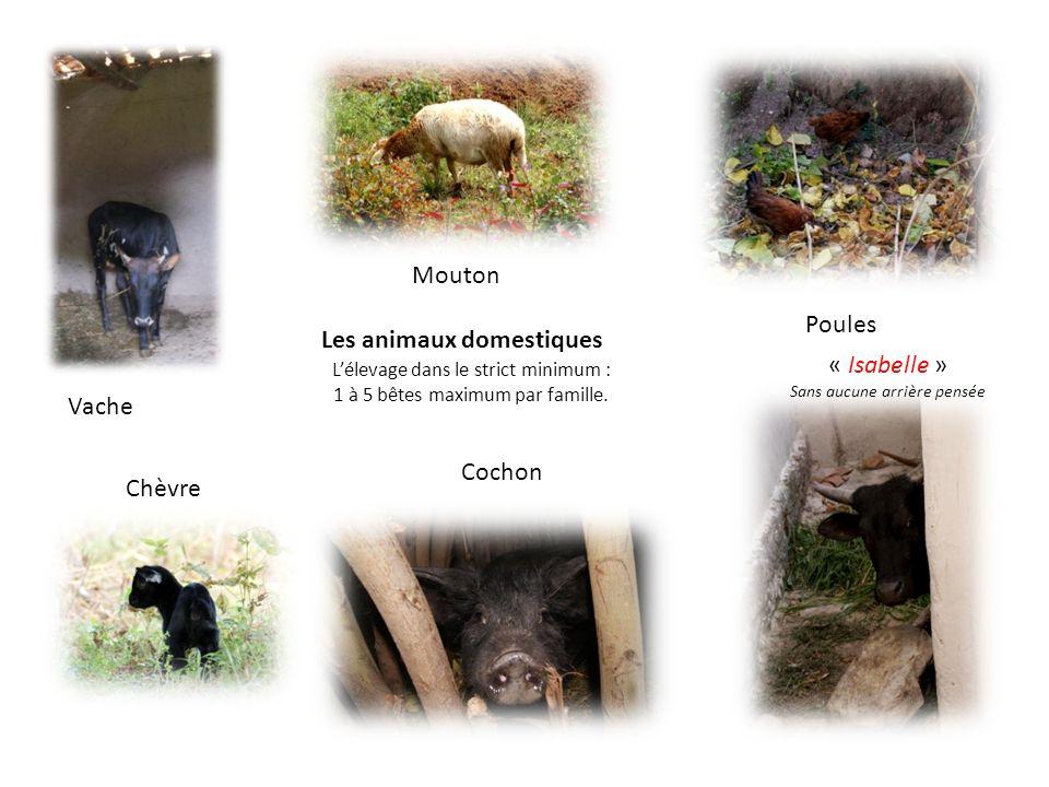 Les animaux domestiques Lélevage dans le strict minimum : 1 à 5 bêtes maximum par famille. Mouton Vache Poules « Isabelle » Sans aucune arrière pensée