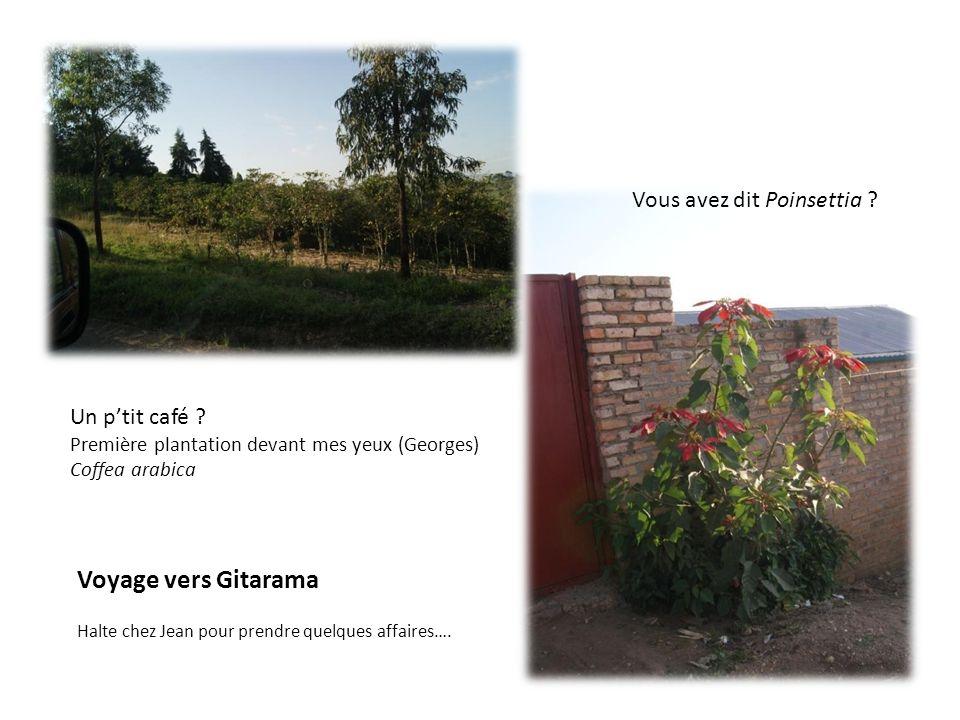 Voyage vers Gitarama Halte chez Jean pour prendre quelques affaires…. Vous avez dit Poinsettia ? Un ptit café ? Première plantation devant mes yeux (G