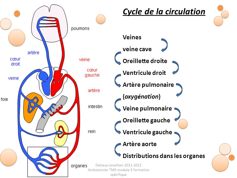 Delsaux Jonathan 2011-2012 Ambulancier TMS module 3 formation spécifique Fin… Cycle de la circulation Veines veine cave Oreillette droite Ventricule d
