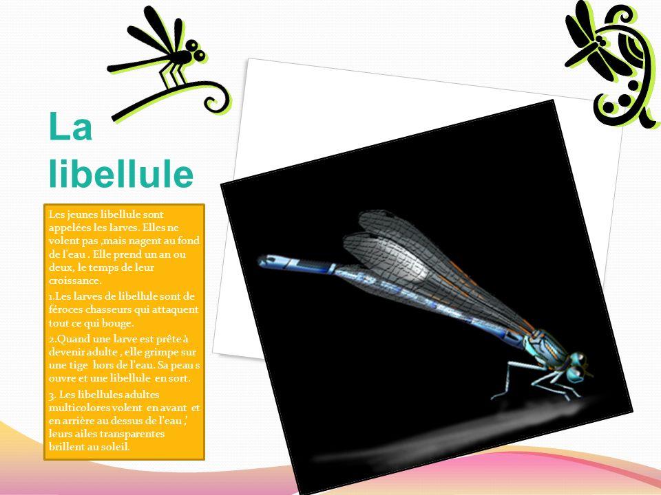 La libellule Les jeunes libellule sont appelées les larves. Elles ne volent pas,mais nagent au fond de l'eau. Elle prend un an ou deux, le temps de le