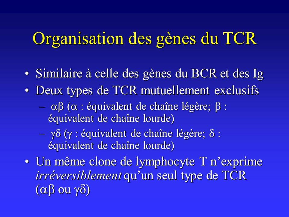 Organisation des gènes du TCR Similaire à celle des gènes du BCR et des IgSimilaire à celle des gènes du BCR et des Ig Deux types de TCR mutuellement