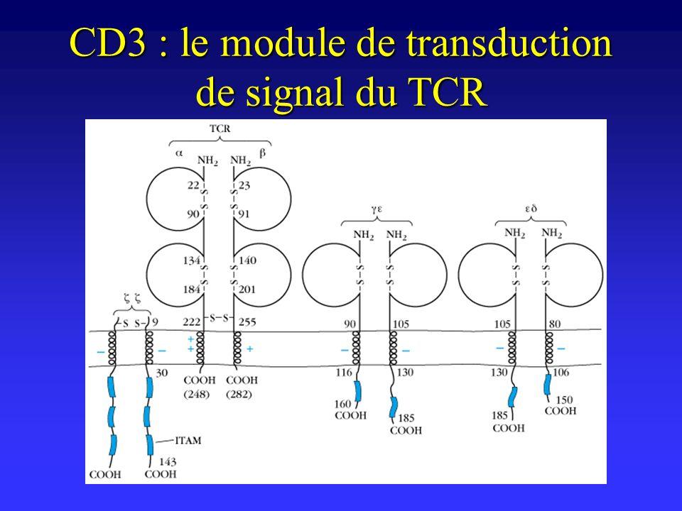 CD3 : le module de transduction de signal du TCR