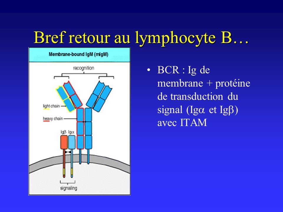 Bref retour au lymphocyte B… BCR : Ig de membrane + protéine de transduction du signal (Ig et Ig ) avec ITAM