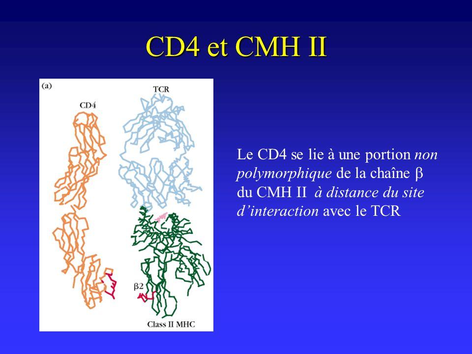CD4 et CMH II Le CD4 se lie à une portion non polymorphique de la chaîne du CMH II à distance du site dinteraction avec le TCR