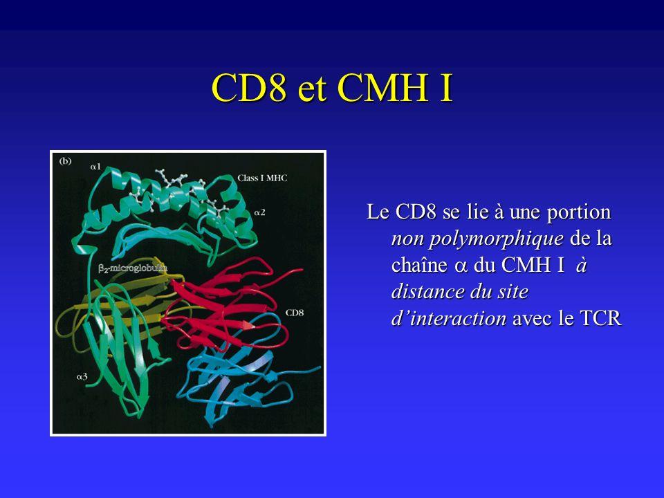 CD8 et CMH I Le CD8 se lie à une portion non polymorphique de la chaîne du CMH I à distance du site dinteraction avec le TCR