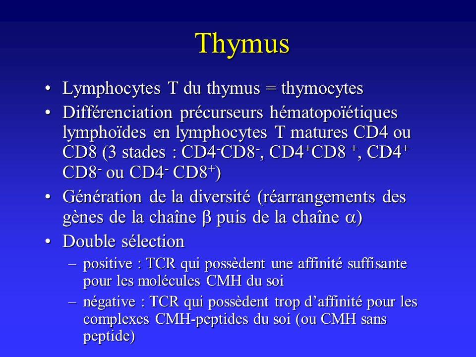 Thymus Lymphocytes T du thymus = thymocytesLymphocytes T du thymus = thymocytes Différenciation précurseurs hématopoïétiques lymphoïdes en lymphocytes