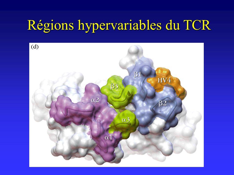 Organisation des gènes du TCR Similaire à celle des gènes du BCR et des IgSimilaire à celle des gènes du BCR et des Ig Deux types de TCR mutuellement exclusifsDeux types de TCR mutuellement exclusifs – ( : équivalent de chaîne légère; : équivalent de chaîne lourde) Un même clone de lymphocyte T nexprime irréversiblement quun seul type de TCR ( ou )Un même clone de lymphocyte T nexprime irréversiblement quun seul type de TCR ( ou )