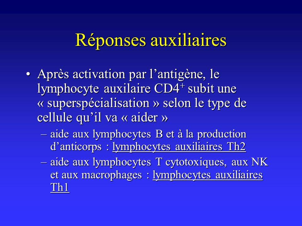 Réponses auxiliaires Après activation par lantigène, le lymphocyte auxilaire CD4 + subit une « superspécialisation » selon le type de cellule quil va