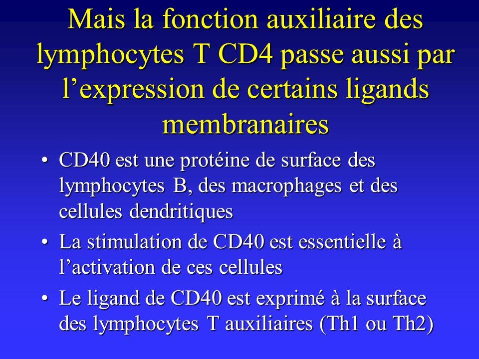 Mais la fonction auxiliaire des lymphocytes T CD4 passe aussi par lexpression de certains ligands membranaires CD40 est une protéine de surface des ly