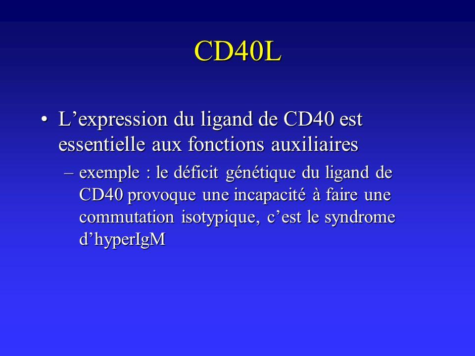 CD40L Lexpression du ligand de CD40 est essentielle aux fonctions auxiliairesLexpression du ligand de CD40 est essentielle aux fonctions auxiliaires –