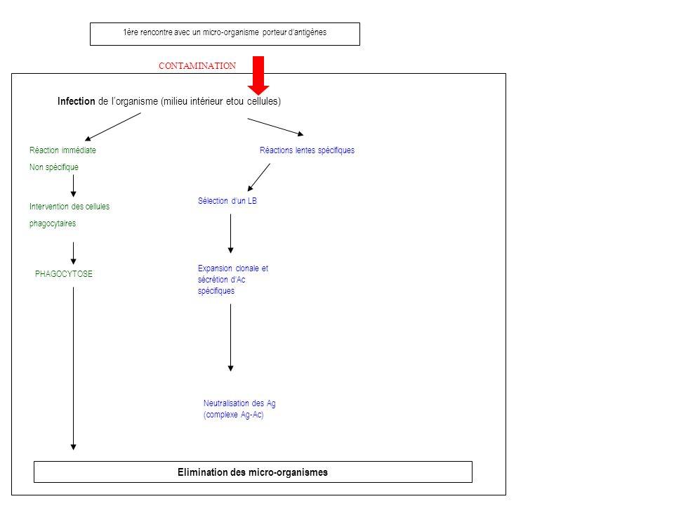 1ère rencontre avec un micro-organisme porteur dantigènes CONTAMINATION Infection de lorganisme (milieu intérieur etou cellules) Réaction immédiate Non spécifique Intervention des cellules phagocytaires PHAGOCYTOSE Elimination des micro-organismes Réactions lentes spécifiques Sélection dun LB Expansion clonale et sécrétion dAc spécifiques Neutralisation des Ag (complexe Ag-Ac)
