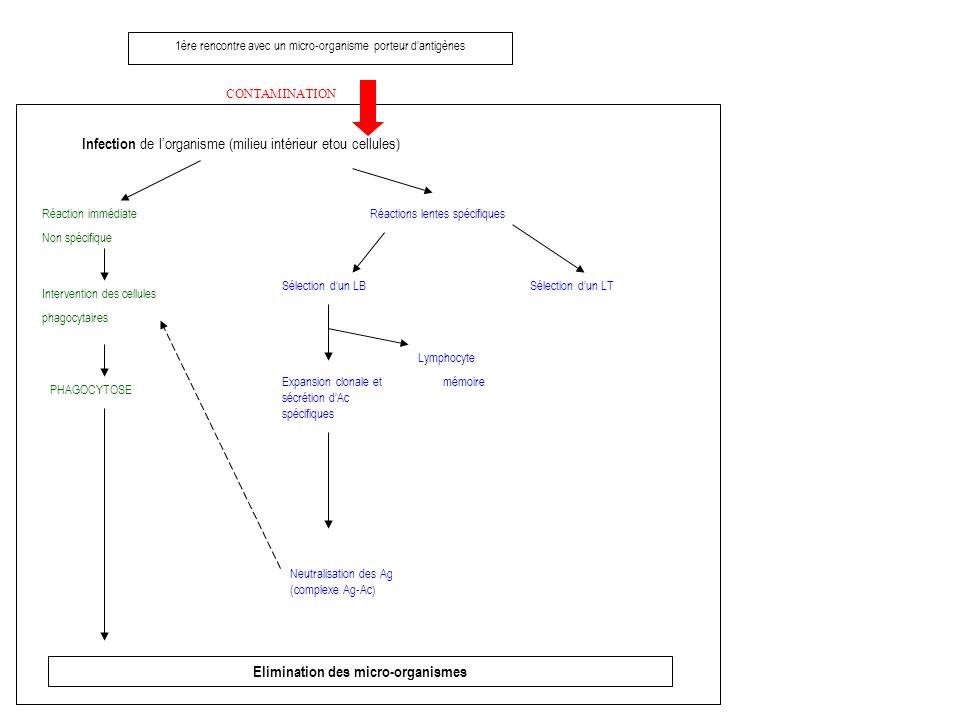 1ère rencontre avec un micro-organisme porteur dantigènes CONTAMINATION Infection de lorganisme (milieu intérieur etou cellules) Réaction immédiate Non spécifique Intervention des cellules phagocytaires PHAGOCYTOSE Elimination des micro-organismes Réactions lentes spécifiques Sélection dun LB Expansion clonale et sécrétion dAc spécifiques Neutralisation des Ag (complexe Ag-Ac) Lymphocyte mémoire Sélection dun LT
