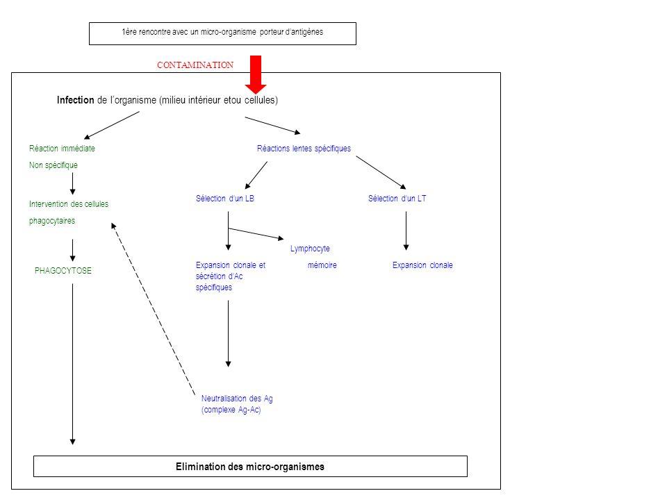 1ère rencontre avec un micro-organisme porteur dantigènes CONTAMINATION Infection de lorganisme (milieu intérieur etou cellules) Réaction immédiate Non spécifique Intervention des cellules phagocytaires PHAGOCYTOSE Elimination des micro-organismes Réactions lentes spécifiques Sélection dun LB Expansion clonale et sécrétion dAc spécifiques Neutralisation des Ag (complexe Ag-Ac) Lymphocyte mémoire Sélection dun LT Expansion clonale