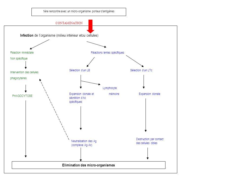 1ère rencontre avec un micro-organisme porteur dantigènes CONTAMINATION Infection de lorganisme (milieu intérieur etou cellules) Réaction immédiate Non spécifique Intervention des cellules phagocytaires PHAGOCYTOSE Elimination des micro-organismes Réactions lentes spécifiques Sélection dun LB Expansion clonale et sécrétion dAc spécifiques Neutralisation des Ag (complexe Ag-Ac) Lymphocyte mémoire Sélection dun LTc Expansion clonale Destruction par contact des cellules cibles