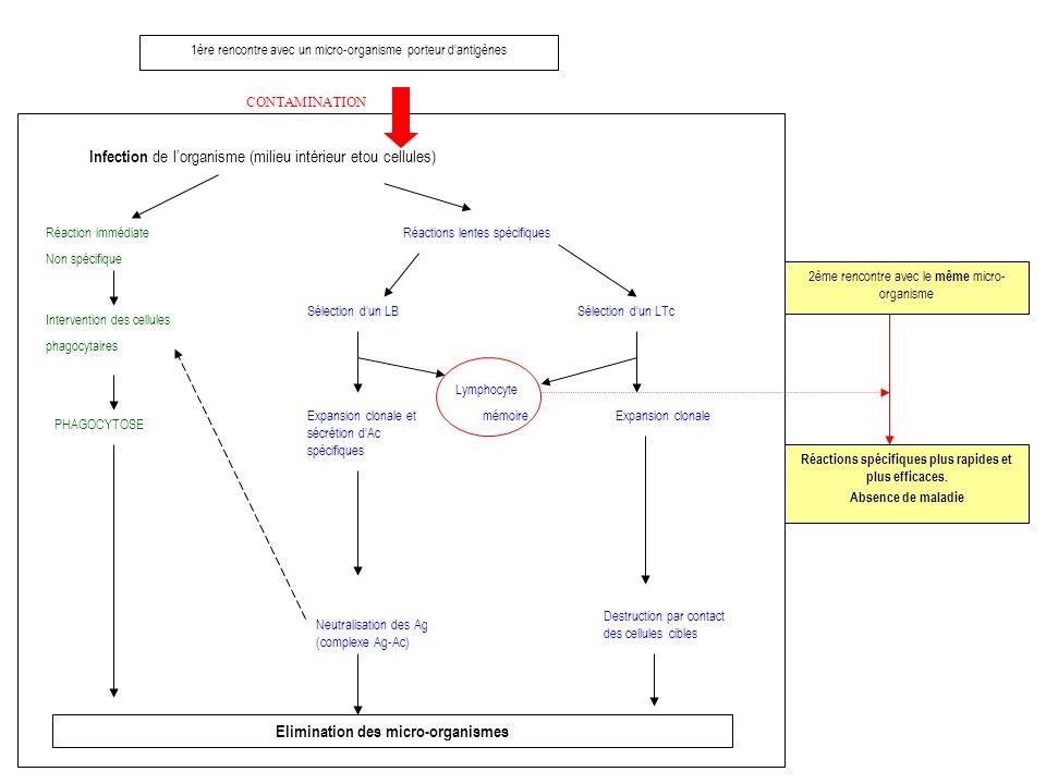 1ère rencontre avec un micro-organisme porteur dantigènes CONTAMINATION Infection de lorganisme (milieu intérieur etou cellules) Réaction immédiate Non spécifique Intervention des cellules phagocytaires PHAGOCYTOSE Elimination des micro-organismes Réactions lentes spécifiques Sélection dun LB Expansion clonale et sécrétion dAc spécifiques Neutralisation des Ag (complexe Ag-Ac) Lymphocyte mémoire Sélection dun LTc Expansion clonale Destruction par contact des cellules cibles 2ème rencontre avec le même micro- organisme Réactions spécifiques plus rapides et plus efficaces.